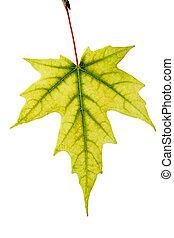geel esdoornblad