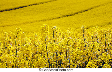 geel veld, met, olie, zaad, aanranding, in, vroeg, lente