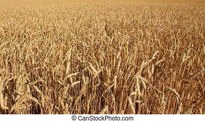 geel veld, met, tarwe
