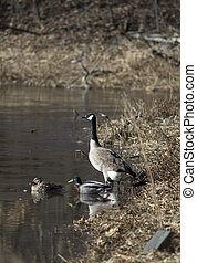 Geese and Ducks Purview