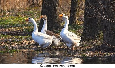 geese by the river in the spring