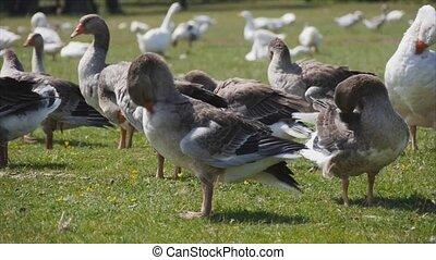 geese clean wings