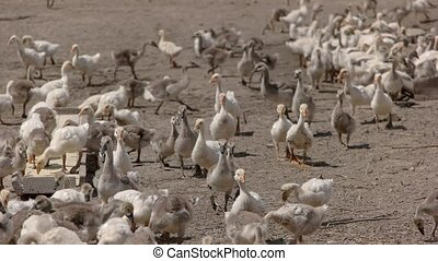 Geese eat from trough. Herd of white poultry. Birds are fed...