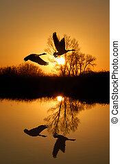 geese, en, riparian, reflectie
