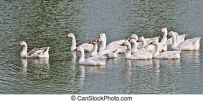 geese floating on water