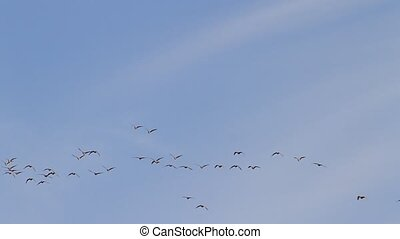 geese fly north in spring , wild nature