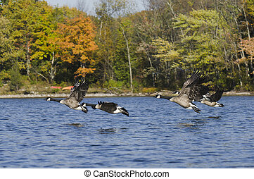 Geese Flying Above the Water