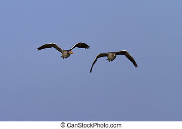 geese flying together