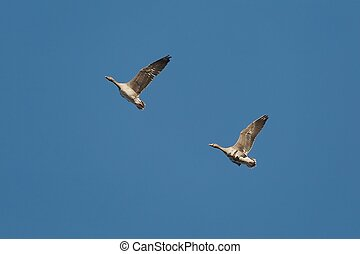 Geese Flying Up