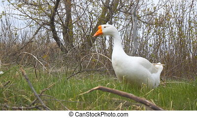 Geese graze in meadow and eat grass - Geese graze in the...