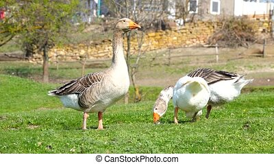 geese in a meadow in the spring