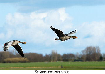 Geese in flight,  the netherlands