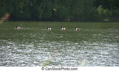 Geese in the lake.