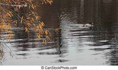 Geese in the lake under autumn tree