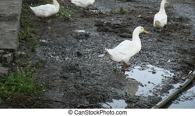 geese in the video yard drinking water from puddles