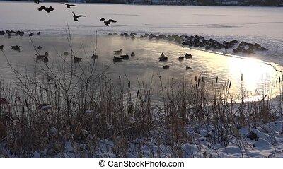 Geese Landing Shot - Geese landing into hot spring caught on...