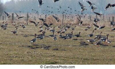 geese landing slow motiion