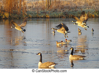 Geese leaving a frozen pond.