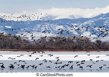 Geese migration