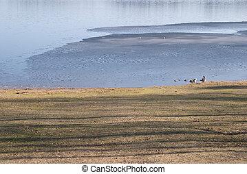 Geese near an half frozen lake, Delsjön nature reserve area, Göteborg, Sweden