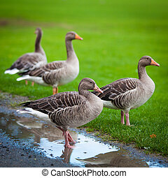 geese on green meadow.  geese and goose. Group of gray geese