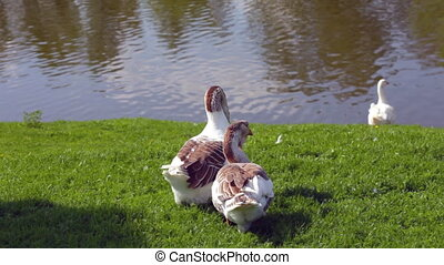 Geese resting on green grass in sunny day