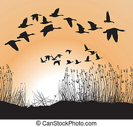 geese, riet