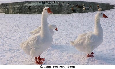 Geese swim in an ice hole - Geese swims bathes in winter...