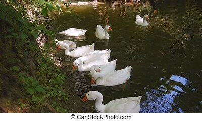 Geese swim in the river and pinch grass off the coast. ...