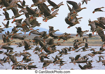 Geese Taking Off - Large flock of Greater White-fronted...