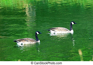 Geese - Two geese swim in the cool green water of the pond ...