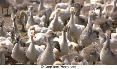 Geese walking on ground. Poultry of white color. Sunny...