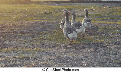 geese walking outdoors in the sunset. slow motion video