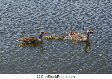 Geese with cute goslings