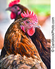geflügel, bauernhof, hühner, frei, traditionelle , bereich