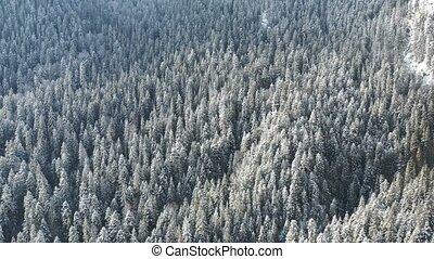 gefrorenes, bäume, und, schneebedeckte , immergrün, wald