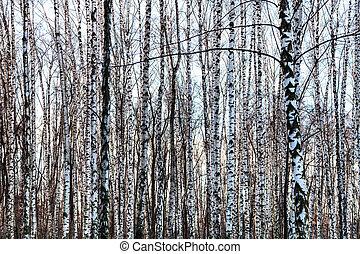 gefrorenes, bloß, birke baum, badehose, in, winter