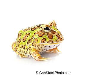 pacman frosch exotische fr sche cornuta brasilien lebensunterhalt haustier frosch. Black Bedroom Furniture Sets. Home Design Ideas