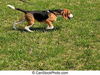 gehen, a, beagle