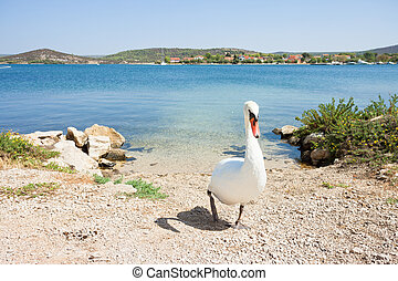 gehen, sibenik-knin, schwan, -, kroatien, weißer strand,...