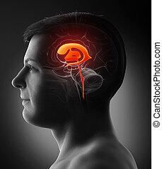 gehirn, abbildung, koerperbau, mann, übertragung, 3d, medizin, ventrikel