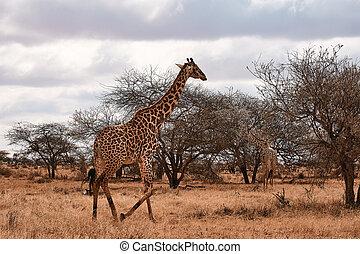 geht, bäume, giraffe, safari, afrika., kenya., landschaftsbild