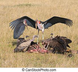 geier, und, marabou, feedind, masai mara, kenia