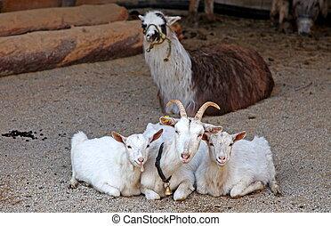 geiten, en, lama