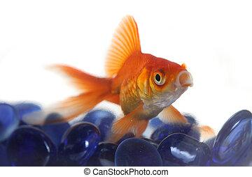 gekke , goudvis, in, water