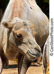 gekke , kameel, dierentuin