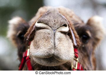 gekke , kameel, gezicht