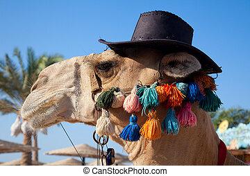 gekke , kameel