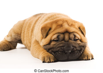 gekke , vrijstaand, achtergrond, witte , puppy, sharpei