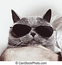 gekke , zonnebrillen, muilkorf, grijs, brits, kat